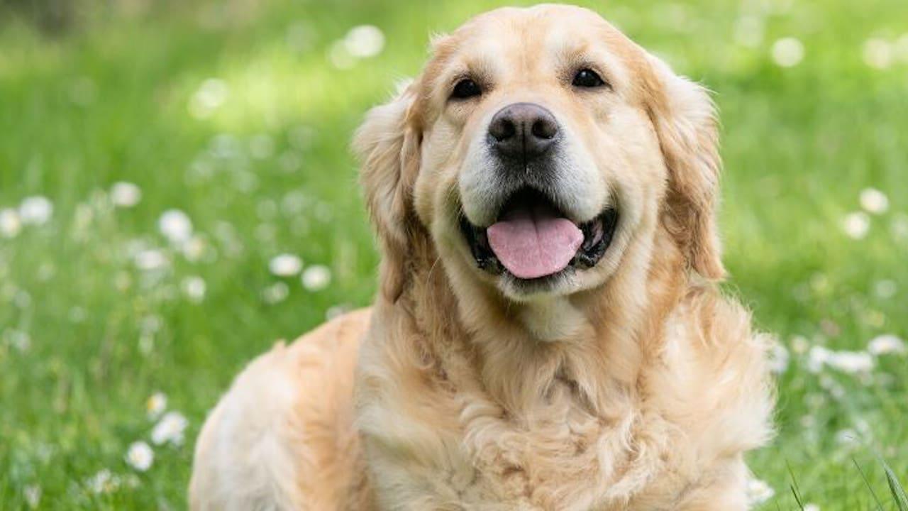 Óleo de cannabis para cães