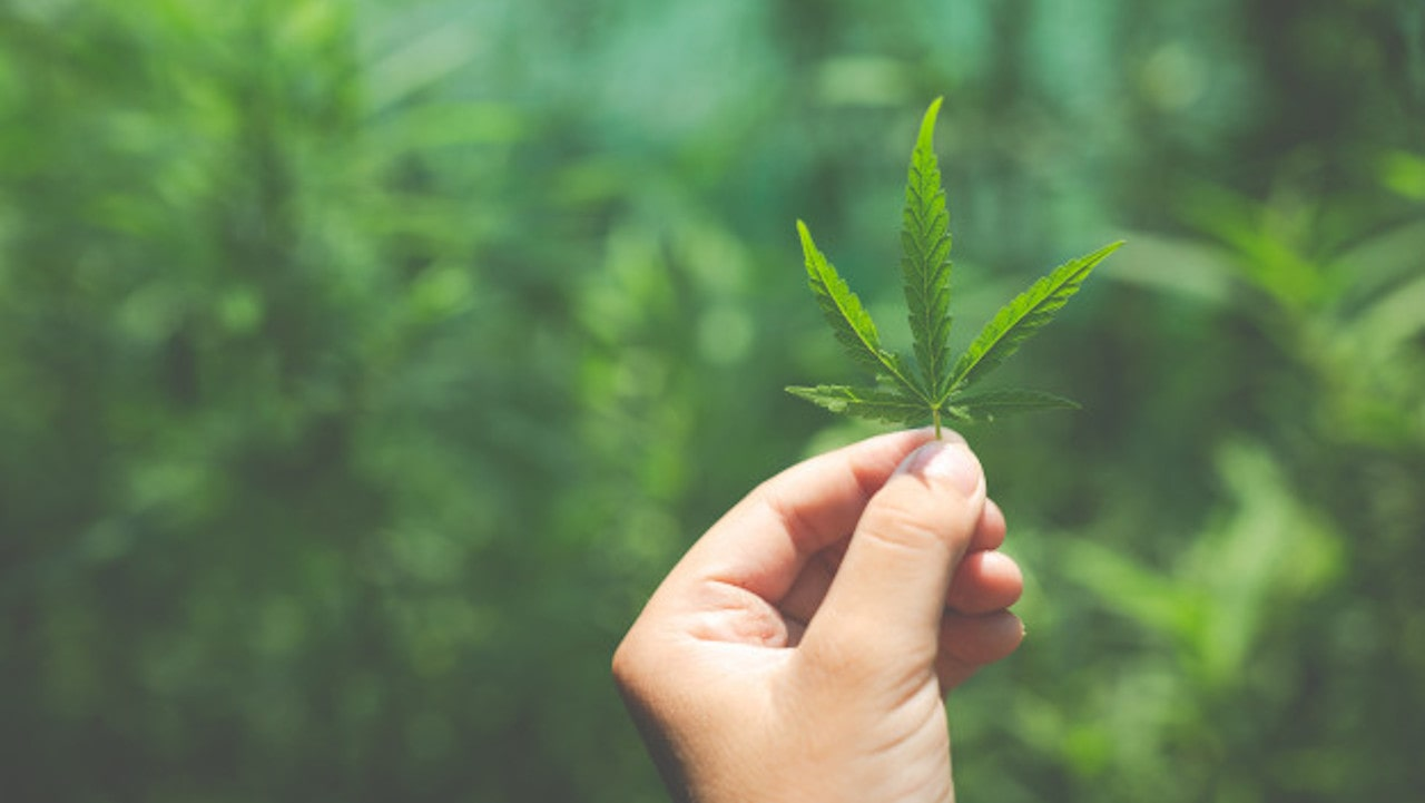 Cultivar cannabis