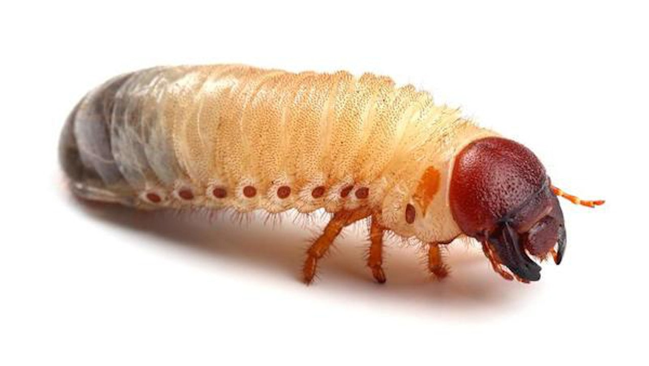 Larva de besouro